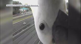 Papuga w kamerze nad drogą w Queensland